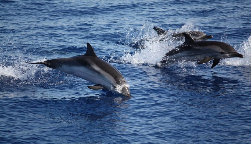Dolphins, Aeolian Islands